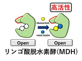 65 タンパク質工学によるリンゴ酸脱水素酵素の高活性化 ~産業利用を目指した酵素の機能改変~