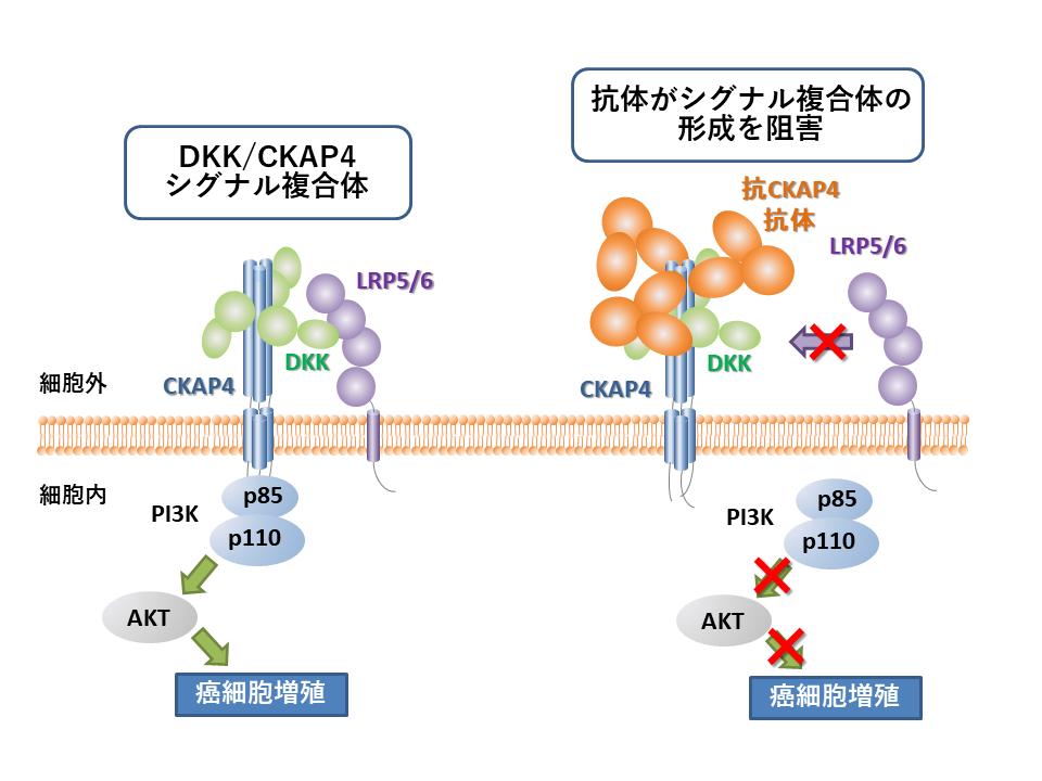 8 新規癌細胞増殖シグナルを強力に阻害する抗体の構造基盤解明 ~5年相対生存率が低いがんの治療薬開発を目指して~
