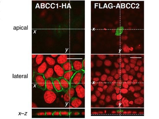 28 上皮細胞においてABCC2を頂端部細胞膜に局在化させる機構の解明 ~細胞膜の特定の場所にタンパク質を配達するしくみ~