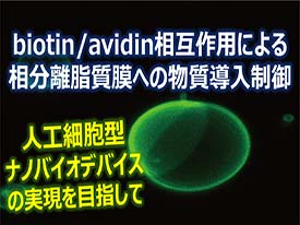 59 biotin/avidin相互作用による相分離脂質膜への物質導入制御 ~人工細胞膜を自在に修飾する~