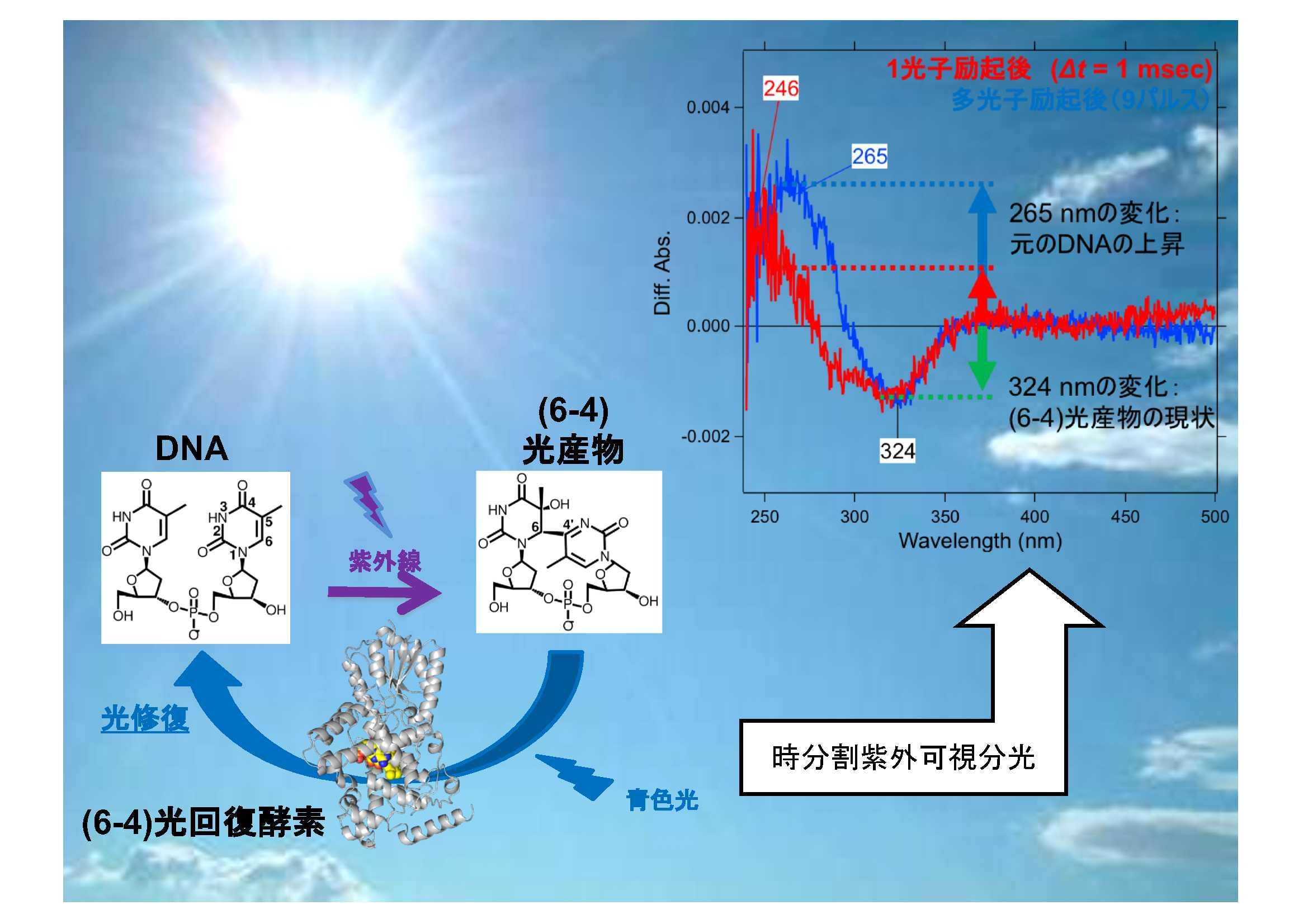 65. 時分割紫外可視分光法を用いた(6-4)光回復酵素の反応機構解明